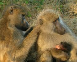 Female baboons grooming one another