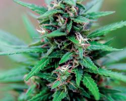 Marijuana plant, Cannabis sativa