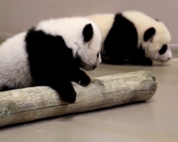 Giant panda cubs playing
