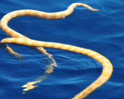 Two yellow snakes in the water