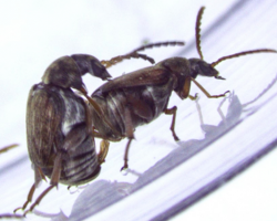 Same sex behavior (SSB) in male beetles
