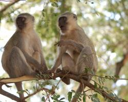 Vervet monkeys in a tree