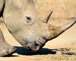 White rhino, male