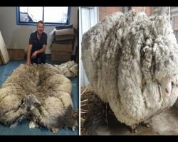 Wool world record: 40.5kg fleece shorn off Giant Merino Sheep the 'Chris' in Australia