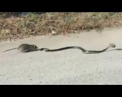 Rat Mom Saves Baby Rat From Snake | Rat vs Snake