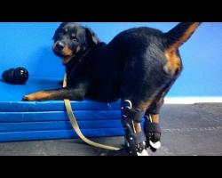 Brutus The Dog Gets 4 Prosthetic Paws