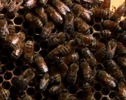 Buzzing at Night: Spread of 'Zombie Bees'