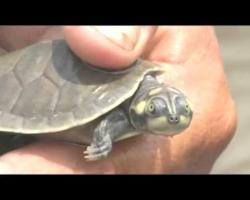 Thousands of turtle hatchlings released into Amazon