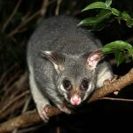 Brushtail possum in Brisbane