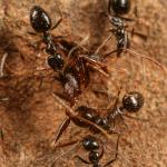 This is a Lepisiota dispatching Pheidole ant. CREDIT: D. Magdalena Sorger