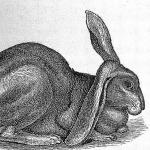 Half lop rabbit