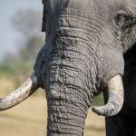 African Elephant. Credit: tonyo_au / Pixabay