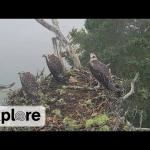 Eagle Snatches Osprey Chick - Warning! Graphic content
